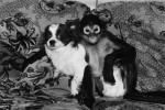 Spider Monkey, female, 1 t=year old and Chiuhuahua, male, 3 years old