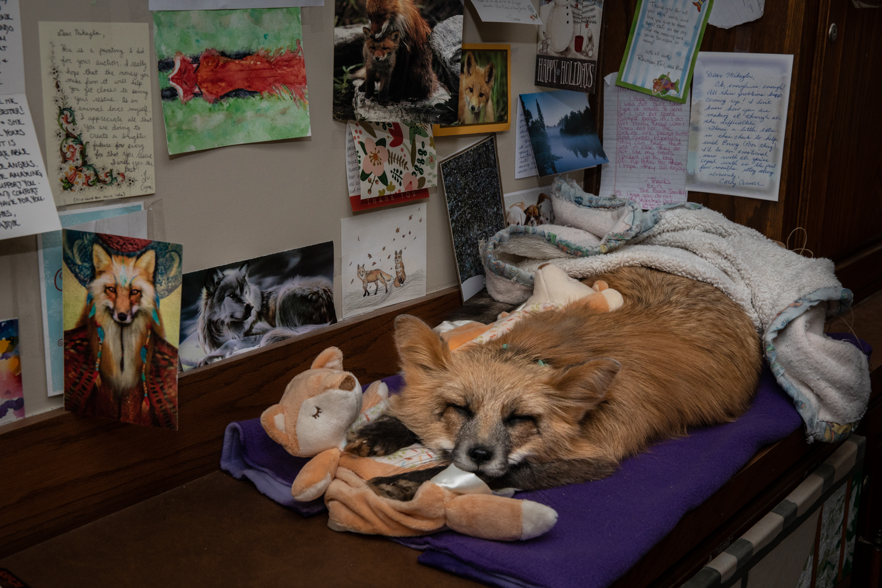 A taxidermy mount of Farah, a much-loved fox, remains in Raines' office, stuffed to look as though she's sleeping with her favorite toys. Behind the mount is a wall of cards, drawings, and notes to Save A Fox from supporters.