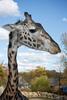 Sukari, Giraffe