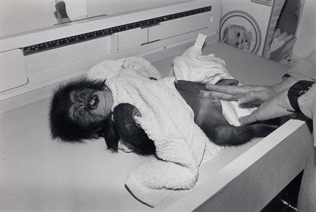 Chimpanzee, male, 3 months old