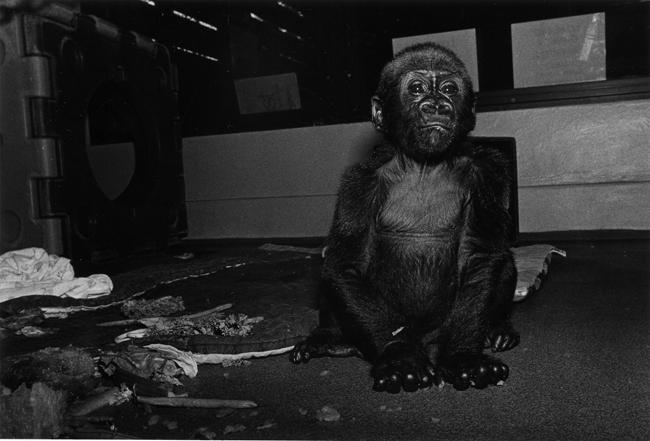 Kubatzia, Lowland Gorilla, male, 7 months old