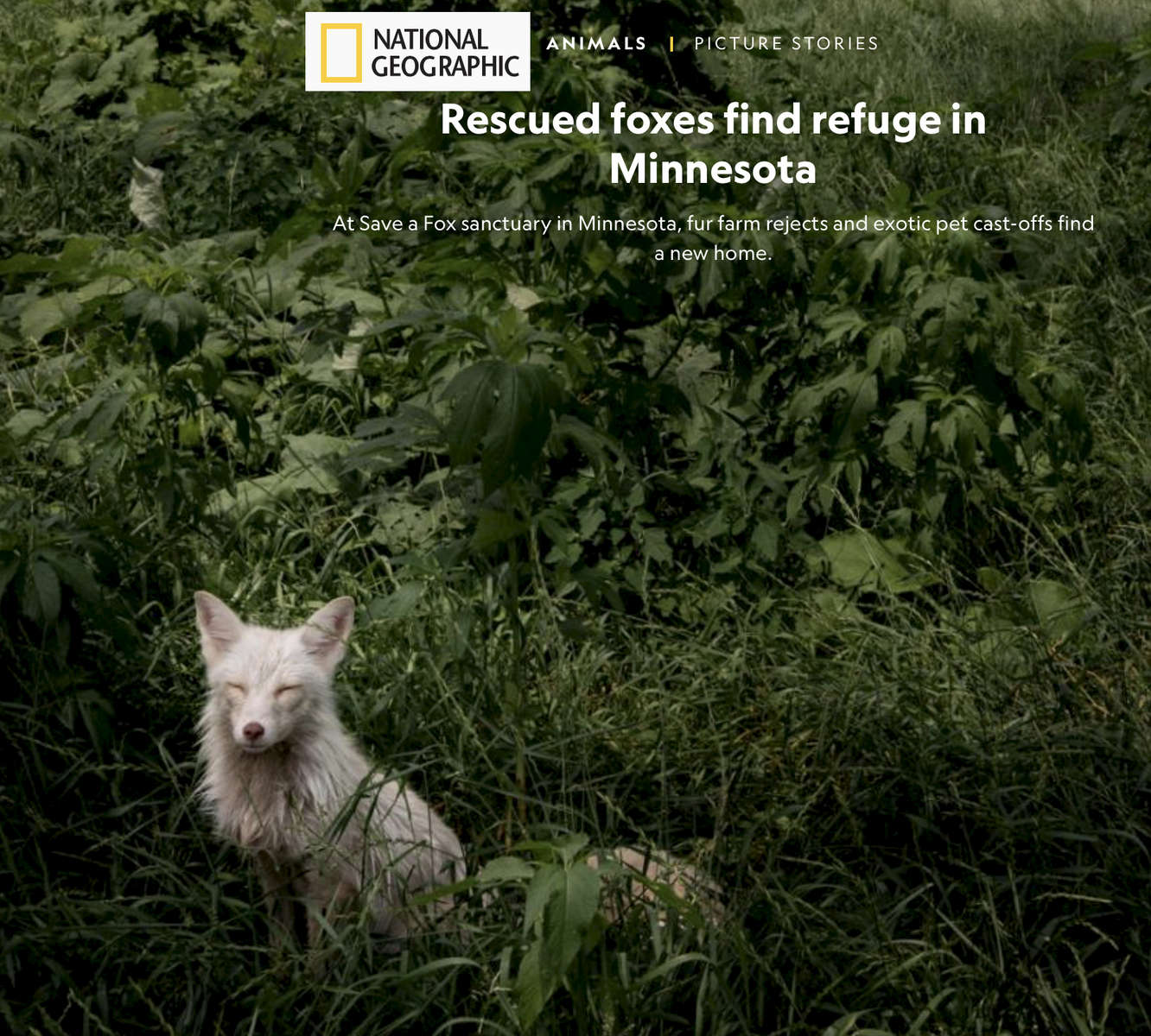 National Geographic: Rescued foxes find refuge in Minnesota FEBRUARY 6, 2019 At Save a Fox sanctuary in Minnesota, fur farm rejects and exotic pet cast-offs find a new home.