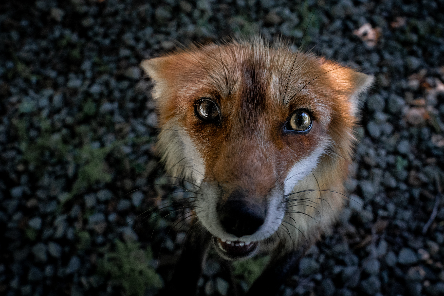 A red fox named Queen Dixie looks up in a bid for treats. The foxes know that the volunteers keep dried chicken jerky on hand, and the animals sometimes beg for them.