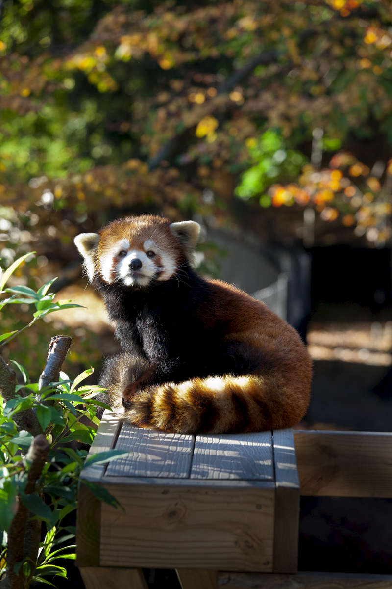Sha-Lei, Red Panda