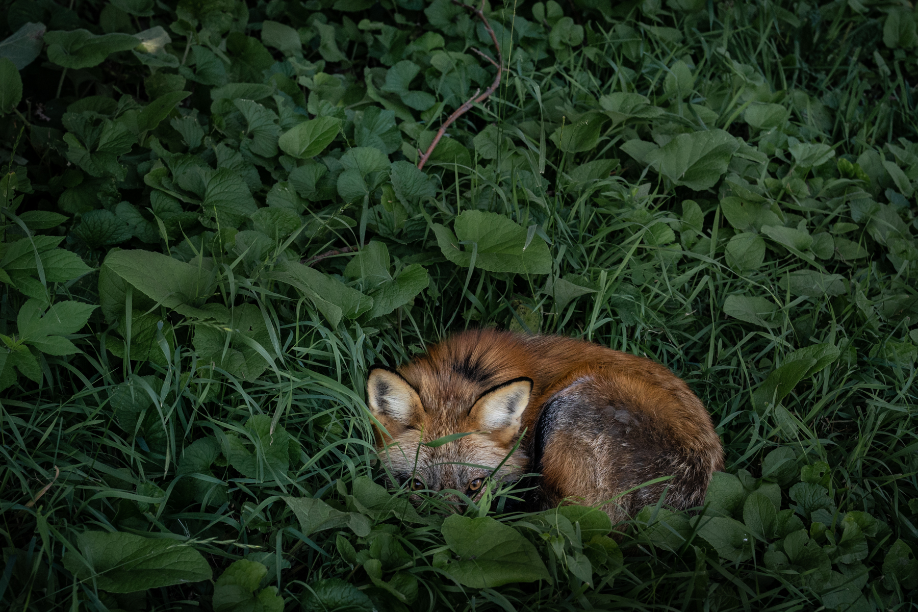 Many of the foxes, including Thystle, relax in the heat of the day by curling up in a cool spot in the grass.