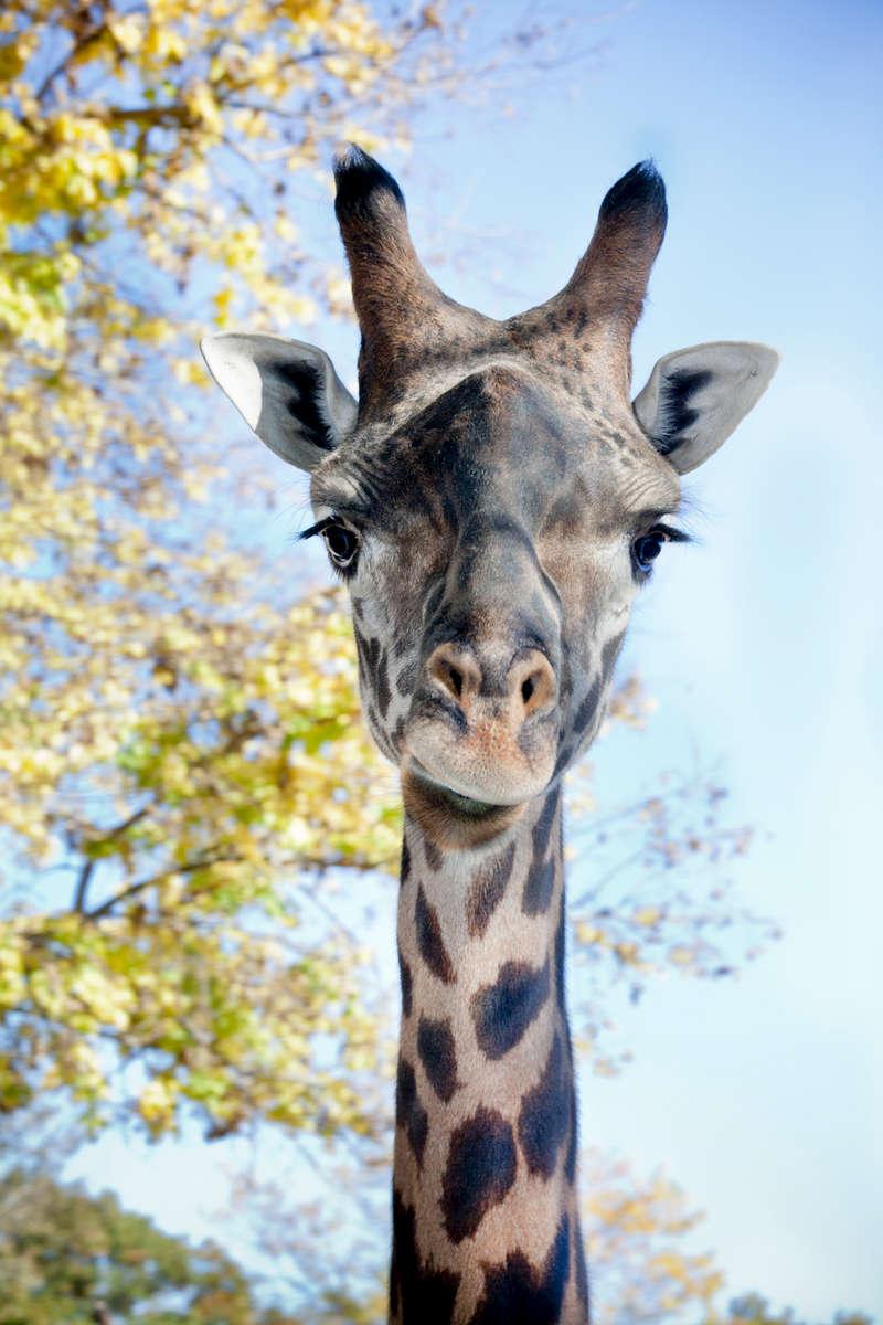Sukari, Girafee