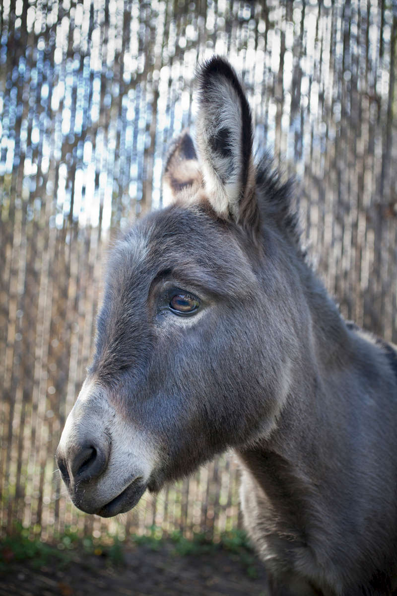 Willie, Donkey,