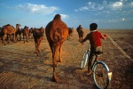 A boy herds a group of camels on his family's farm in Turkmenistan.