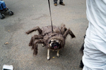 The Annual Tompkins Square Halloween Dog Parade attracted 376 entries this year and thousands of spectators. There were two rounds of judging in held in the park's dog run. {quote}Witten{quote} the Tarantula