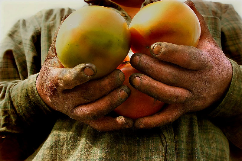 Immokalee Florida, farmworkers, the end of the tomato picking season where workers are paid 45 cents a basket.