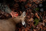 Don Joy checks the bullet wound of a deer that was shot on opening day of deer hunting season.
