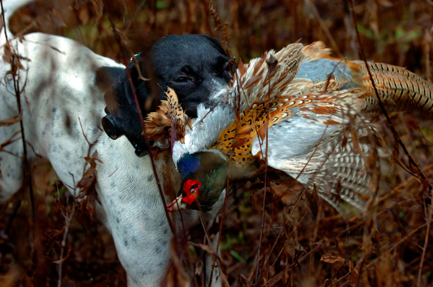 Dottie, an English Pointer, carries a pheasant back after it was shot. Dottie is owned by Bob Wahl of Suffield, who has hunted for more than 40 years. Wahl was out hunting with a few friends of his. {quote}Dottie is one of the best dogs I've owned - they say you own one great dog in your lifetime, and I think Dottie is going to be it (for him).{quote} Wahl spends roughly 15 hours a week, 40 weeks of the year, training the dog to point birds such as pheasants and woodcocks. It is in many ways, an art form for Wahl.