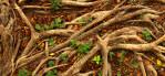 banyan tree rootsMacau, China