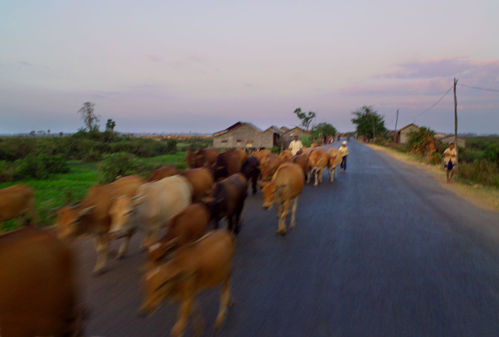 cattle drive on road north to Banteay SreiAngkor complex - Cambodia