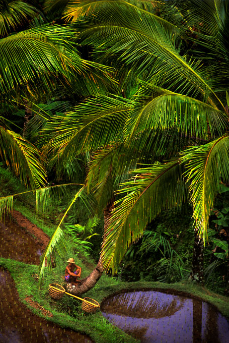 farmer under palms in the village rice terracesnear Ubud, BaliIndonesia
