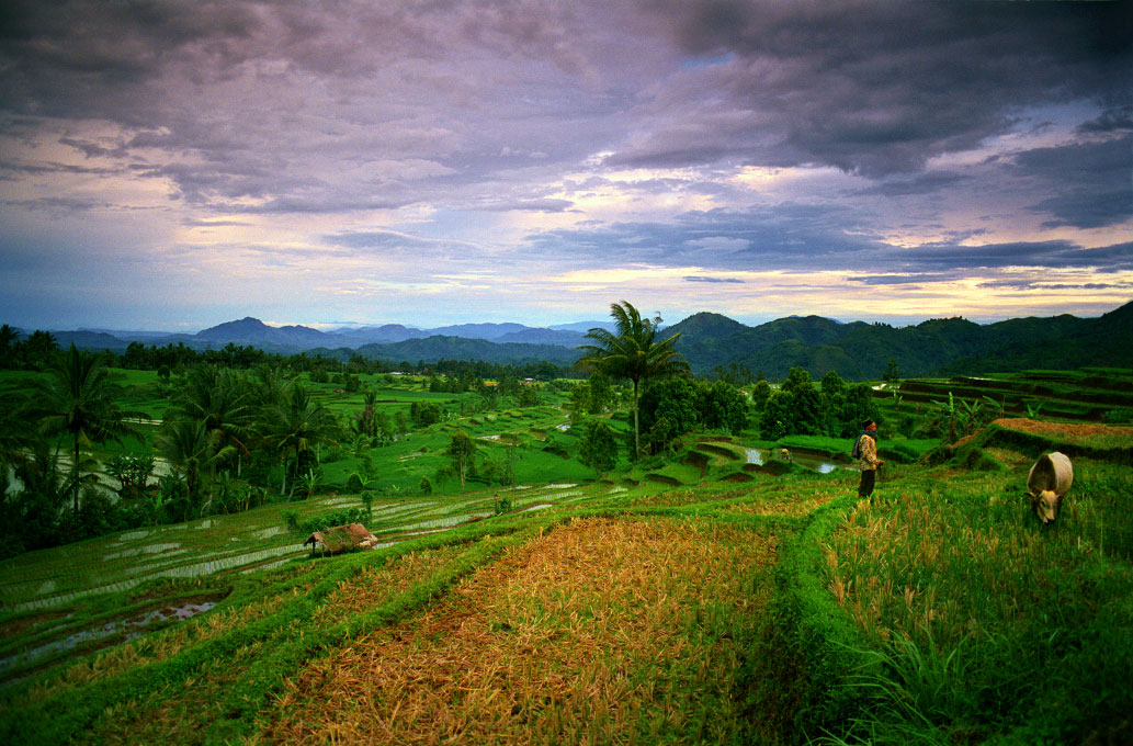 farmer and his water buffaloin rice terrace near Mt. SinggalangWest Sumatra, Indonesia