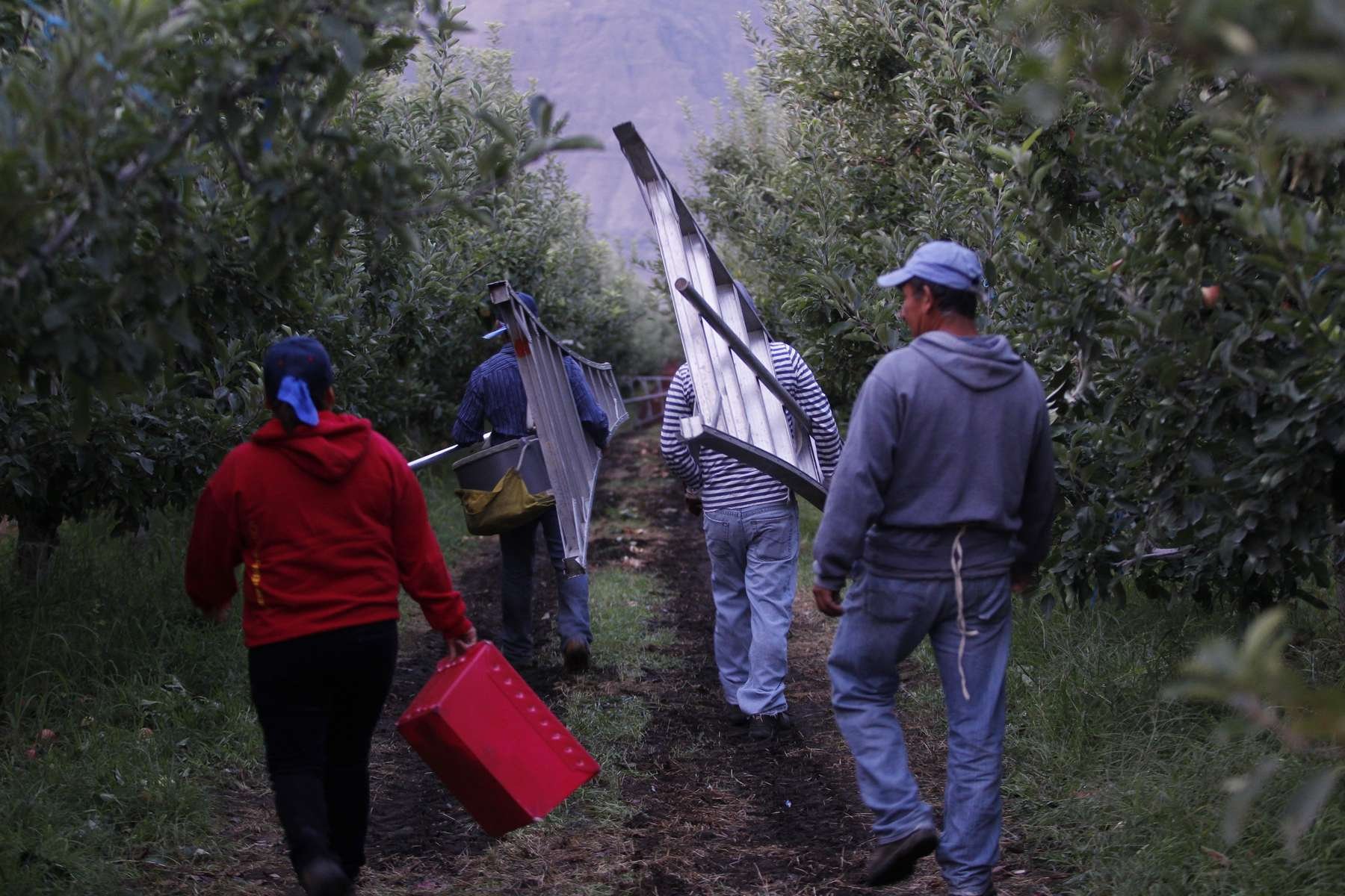 Workers take to the fields at Stemilt Orchards in Mattawa, Washington August 22, 2013 where they earn less than a dollar a bucket for the apples that they pick. Almost everyone says they are here illegally from Mexico, putting them at the center of the coming debate over citizenship. Washington is the nation's leading apple producer, and none of the farmers in the Mattawa area was, as of last year, registered with E-verify, a free US government service that checks workers' papers.