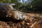A dead beaver lies on the ground after being pulled out of a trap in Henderson, Texas December 7, 2008.