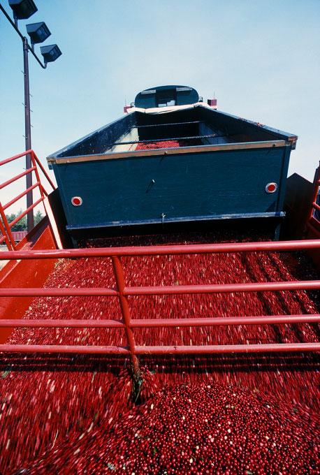 Dumping-cranberries-copy