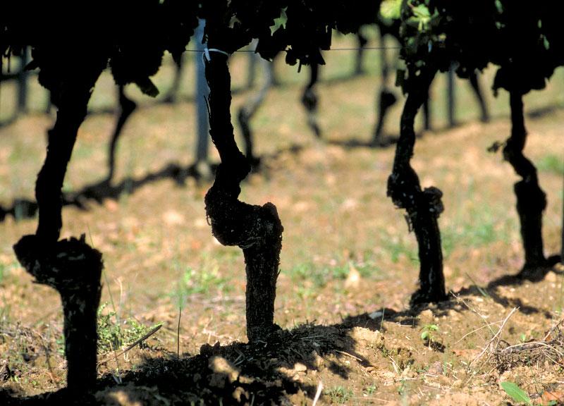 Vines-copy