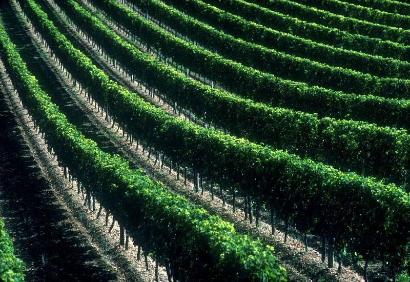 Vineyard-rows-copy