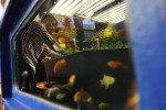 CHICAGO, ILLINOIS.  Matthew Peters, 17, reflected in a goldfish basin while examining a a plant he grew in the aguaponics lab at Lane Tech High School on March 19, 2015.  Lane Tech, a Chicago Public High School, has cultivated the program with support from the Century Foundation and the school's alumni association as well as donations from Brew and Grow and Home Depot.