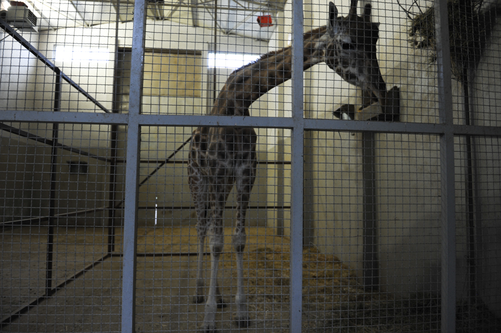 JAGODINA, SERBIA.  Jovanca, the giraffe in the Jagodina zoo, on September 10, 2015. Jovanca was a concession to powerful local mayor and don Dragan Markovic, also known as {quote}Palma,{quote} a former close ally of former Serbian leader Slobodan Milosevic, in order to gain his participation in the coalition government; Palma owns Palma TV which provided part of the turbofolk soundtrack to the 1990s and is close with several stars of the genre including Svetlana Raznatovic, better known as Ceca, and Aca Lukas.