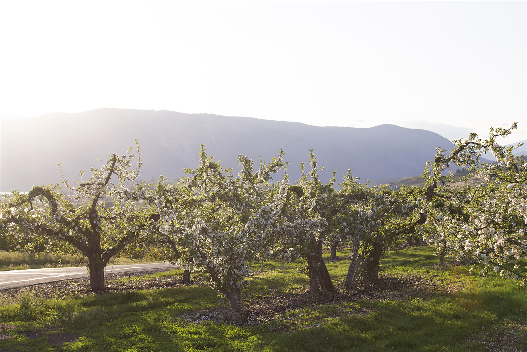 Chelan_AppleTrees