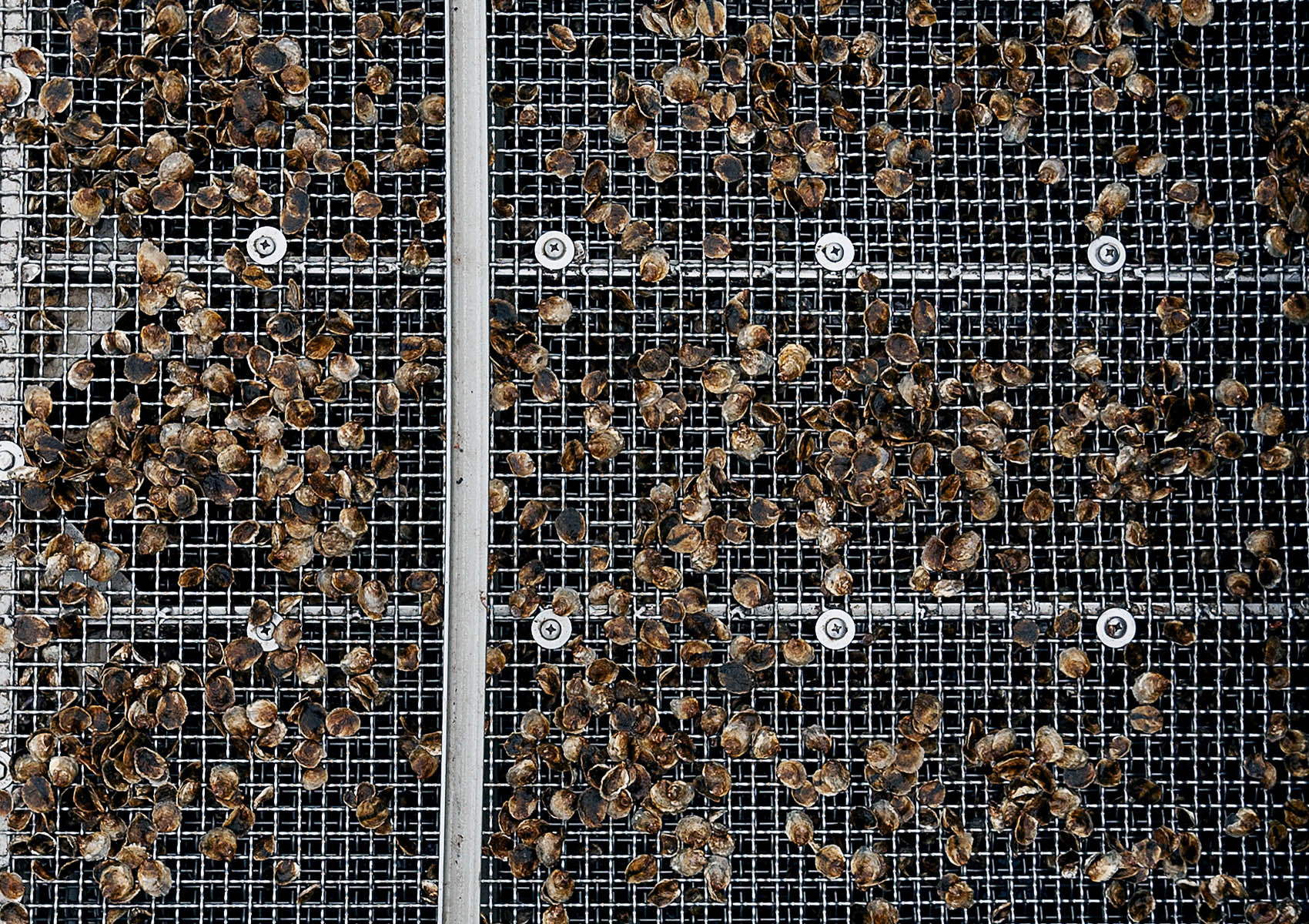 Oysters_Seed_Screen