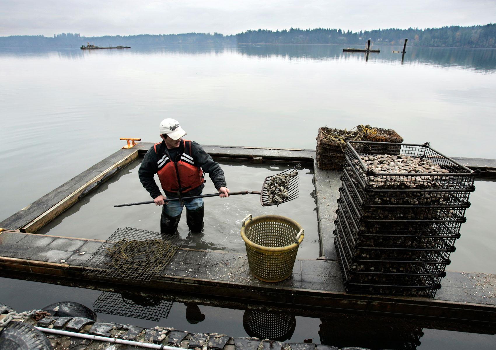 Shoveling_Oysters