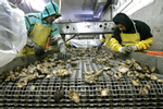 Oysters from Washington state. Photos copyright Ron Wurzer