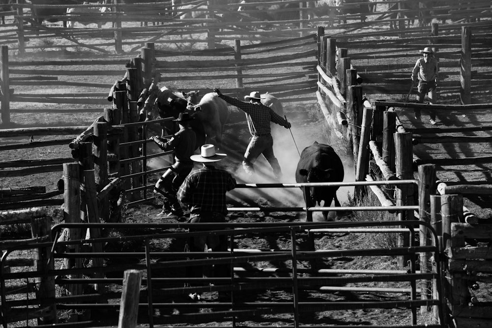 Four Cowboys work together during a Fall roundup to separate cattle and load them into trucks.