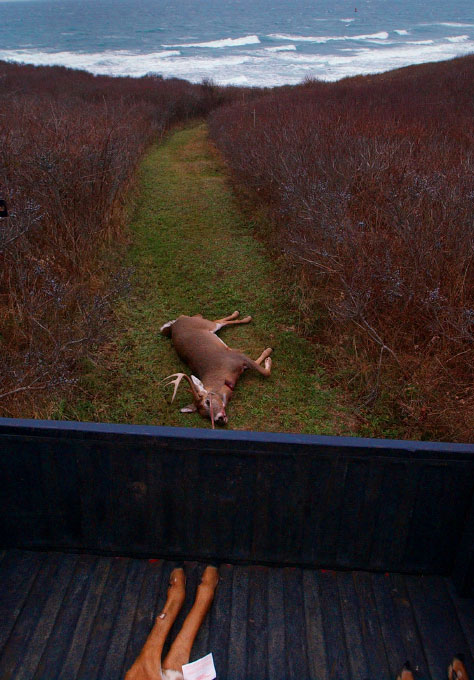 Though prohibited on protected open spaces, hunting is allowed on private lands to help combat the over population of deer, which were introduced to the island. A deer is pulled through the brush on the west side of the island.