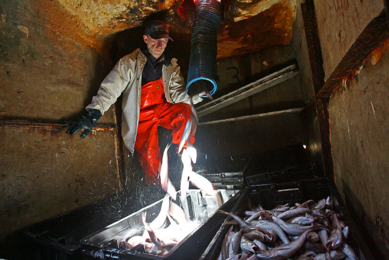 At sea, crew members work continuously, dragging their nets to catch fish and then spending hours sorting and placing the catch in totes. The fish are shots through tubes from the upper deck and stored on ice. Limits have been place on most fish as well as windows of time when they may be caught.