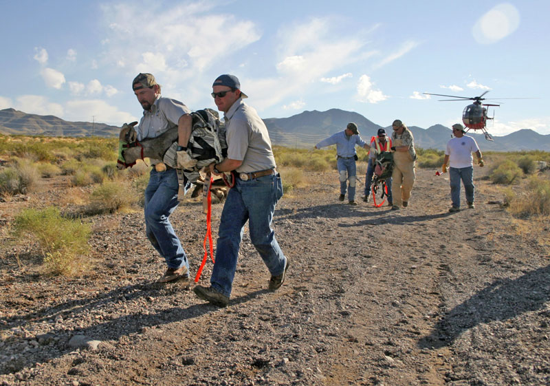Volunteers and members of the Nevada Department of Wildlife carrywild big horn sheep after they are captured by helicopter from the River Mountains earlySaturday, Oct. 22, 2005. The sheep were given booster shots and kept overnight to be released at Virgin Valley the next morning.