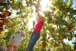 Diane (refrained to give last name), left to right, Claudia Dossat and Jessica Aguilar pick two flats of Mid Pride Peaches for a customer at the University of Nevada Coorporative Extension's Master Gardeners Tree Fruit Orchard Saturday, July 7, 2012, in North Las Vegas.