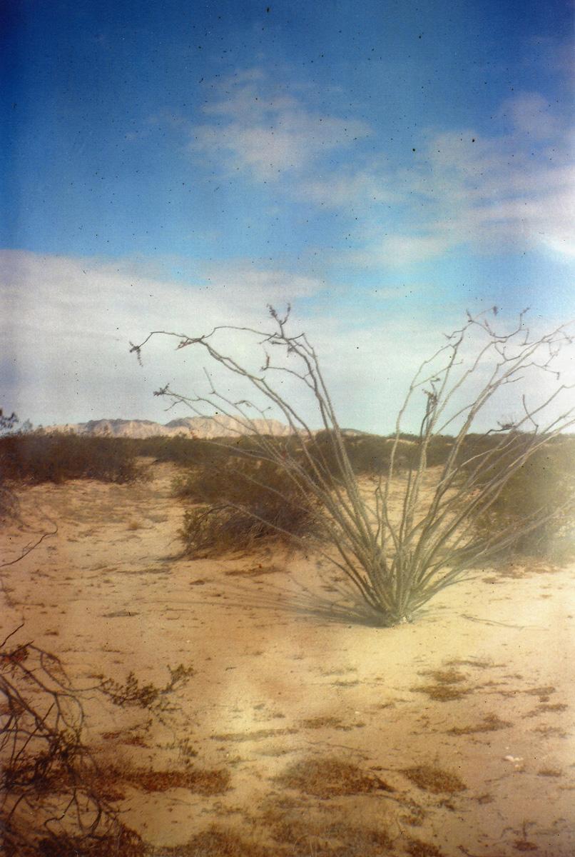 Kodak Brownie, 120 film. Ocotillo cactus, Baja California, Mexico