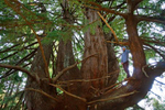 Candelabra Tree, Butano Redwoods State Park, Southern Caifornia