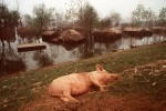 China_flood_pig
