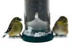 More_Birds_Snow_19_DA