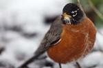 More_Snow_Birds_3-2013__20_DA