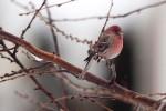 Snow_Birds_3-2013__14_DA