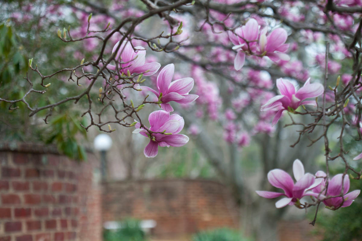uva_Gardens_Magnolia_05_DA