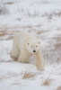 Bear-web0013