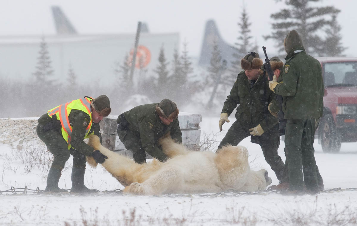 When the bear has cooled off in jail they are flown back to the tundra, farther away from town.