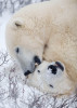Polar bears of Churchill, Canada