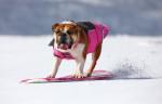 Snow boarding bulldog for Natural Balance dog food