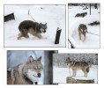 Wolf Country USA which was breeding and selling 'wolf dogs' an illegal activity in the USA. The dogs were held on short chains and unable to interact with the other dogs in very poor conditions. Local authorities asked for help on a relocation mission.