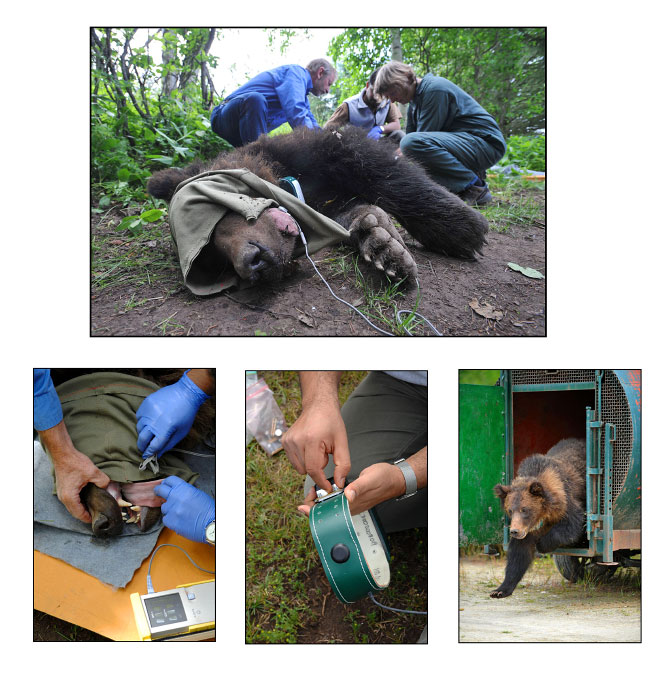 A team of bear experts, vets and biologists checked the bears health and fitted a GPS colar so they can be tracked in the wild.