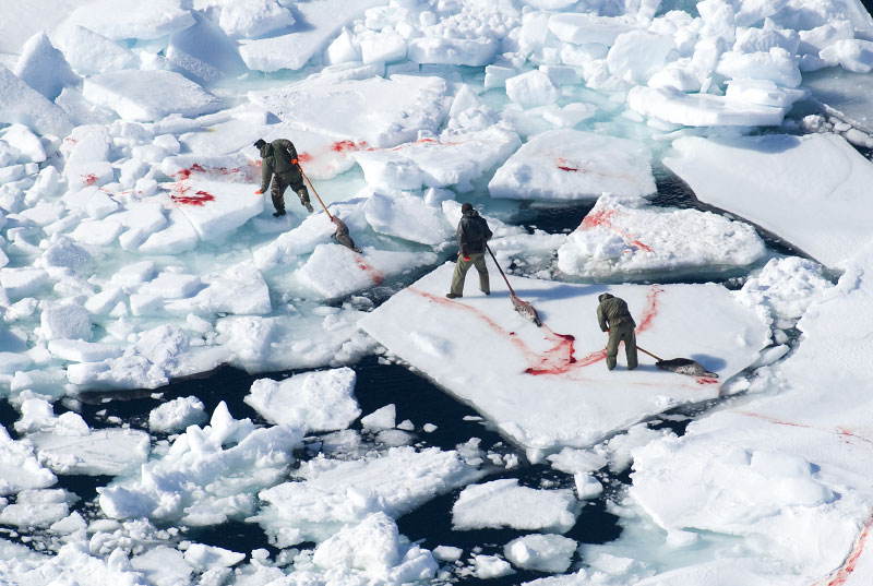 Hunter dragging seals across very poor ice